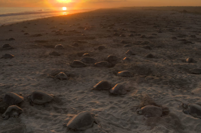Olive Ridley tours in Odisha